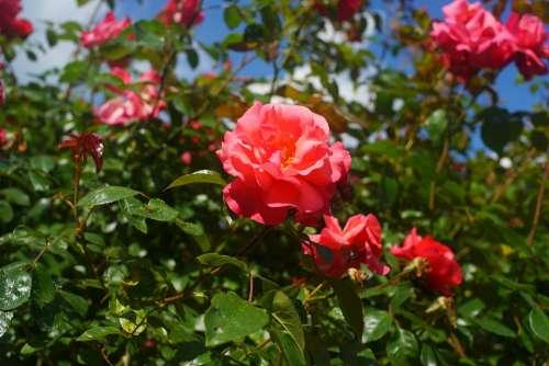 Flowers Roses Red Garden Love Romance Plant