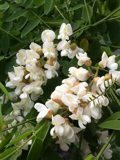 Flowers White Flower Panicle Branches Plant Nature