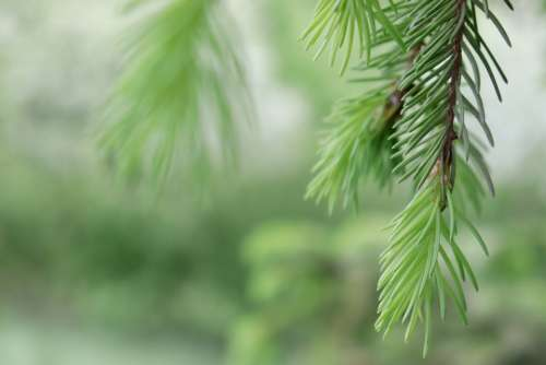 Forest Spruce Trees Nature Pine Tree Green