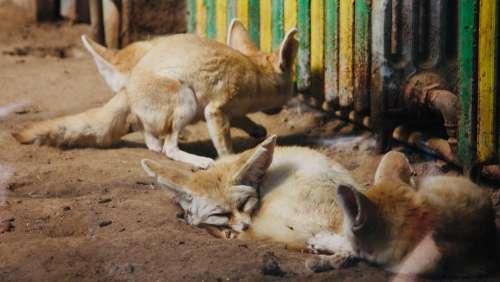 Fox Fennec Fox Fennek Zoo Cute Sleeping