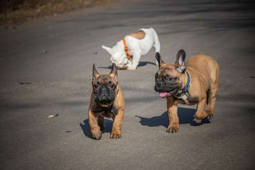 French Bulldog Funny Puppies Ears White Pets