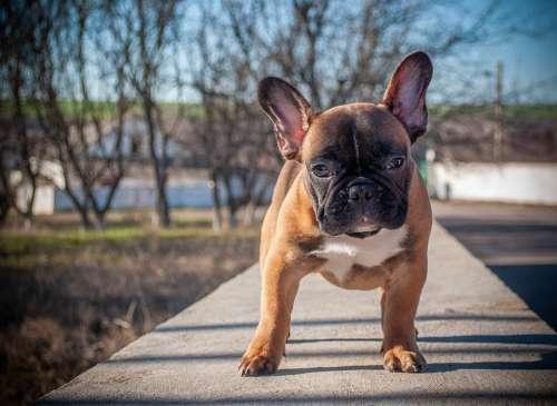French Bulldog Puppy Pet Animal Pedigree Dog