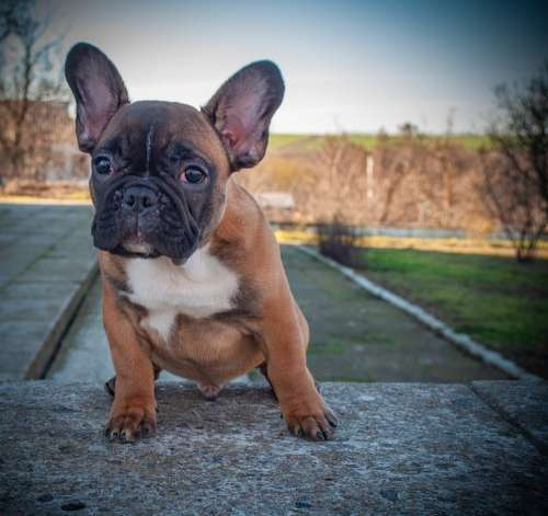 French Bulldog Puppy Pet Animal Pedigree Purebred