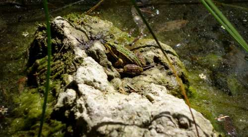Frog Toad Pools Water Green Frog Frog On Stone