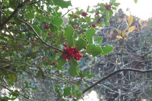 Garden Ireland Autumn Scenery Nature Holly