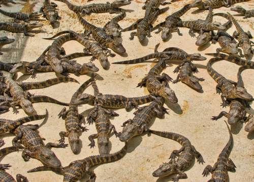 Gators Reptile Dangerous Creature Animals