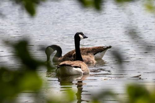 Geese Canada Geese Nature Animals Goose Waterfowl