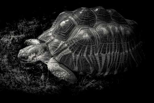 Giant Tortoise Gad Shell Black And White Nature