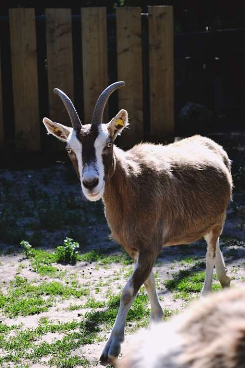 Goat Nature Animal Mammal Horns Creature Outdoor