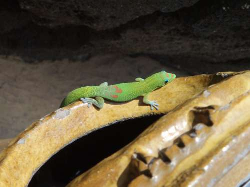 Gold Dust Day Gecko Gecko Hawaii Tropic Colorful