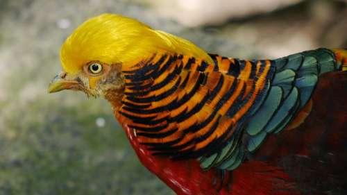 Golden Pheasant Bird Nature Freedom Exotic Golden