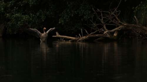 Goose Wing Shadow Bank Lake Water Bird Plumage