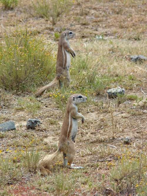 Gophers Animals Nature Cute Rodent Animal World