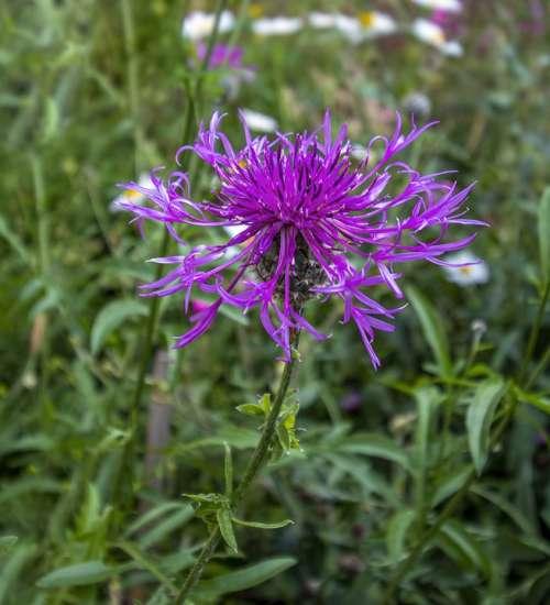 Greater-Knapweed Wildflower Purple Bloom Plant