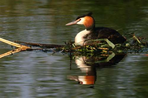 Grebe Bird Waterfowl Great Crested Grebe Birds
