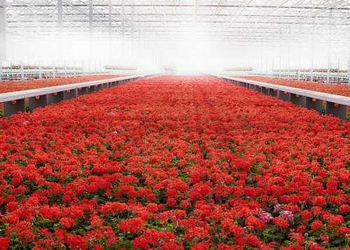 Greenhouse Geranium Red Flower Blossom Bloom
