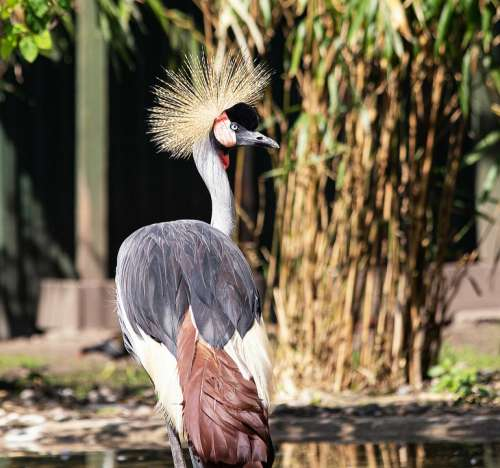 Grey Crowned Crane Bird Animal Animal World Crane