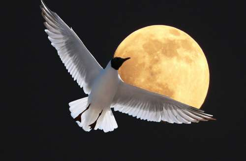 Gull Poultry Flying Moon Sea White Feather Sky