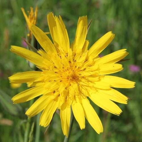 Had Salsify Tragopogon Yellow Blossom Bloom Flora