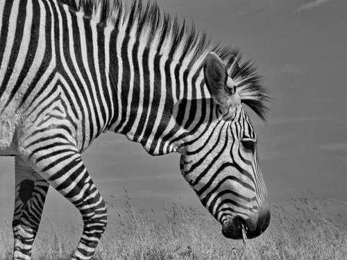 Hartmann'S Zebra Mountain Zebra Africa South Africa