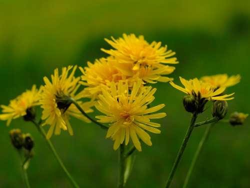 Hawkweed Pointed Flower Wild Herb Blossom Bloom