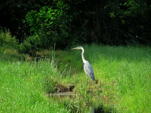 Heron Environment Water Nature