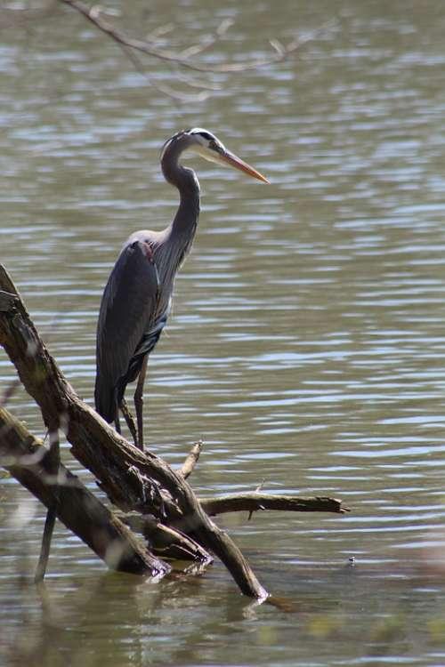Heron Bird Habitat Feather Lake North Carolina