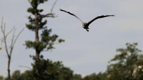 Heron Lake Flight Bird Nature Animal Animal World