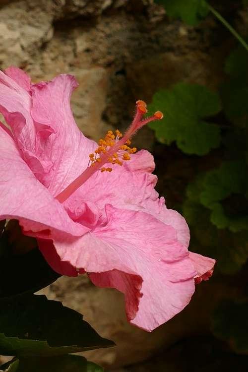 Hibiscus Malvaceae Plant Flower Flora Pink Pestle