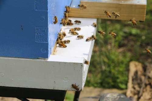 Honey Bee Beehive Flight