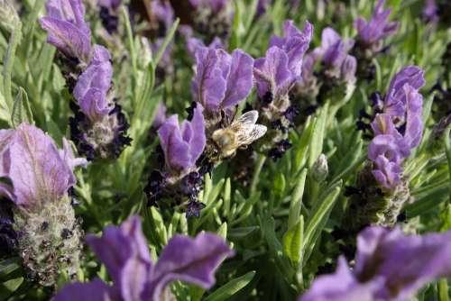 Honey Bee Lavender Bee Pollen Blossom Bloom