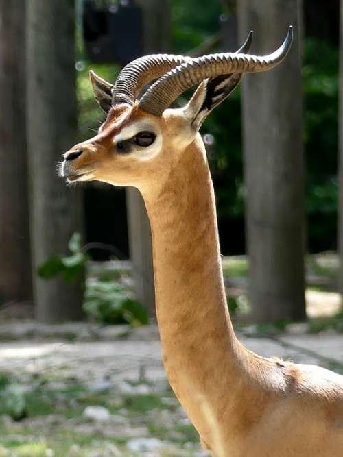 Horned Zoo Horns Animal World Nature