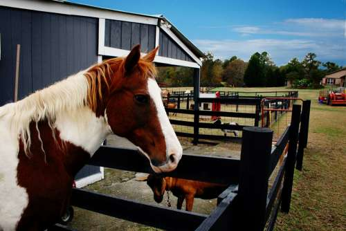 Horse Farm Animal Pony Equestrian Mane Mammal