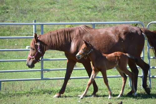 Horse Equine Mare Foal Colt Animal Nature Horses