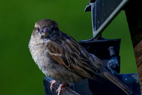 House Sparrow Bird Sparrow Songbird Close Up