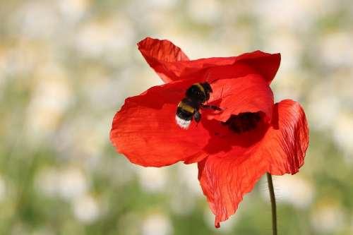Hummel Poppy Insect Close Up Klatschmohn Nature