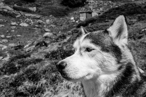 Husky Dog Animal Nature Animal Portrait Dog Breeds