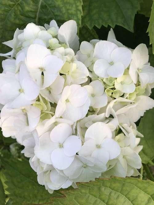 Hydrangea White Flower Nature Garden Flowers