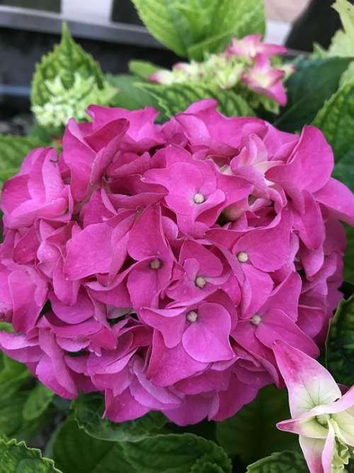 Hydrangea Fuxia Flower Nature Garden Flowers