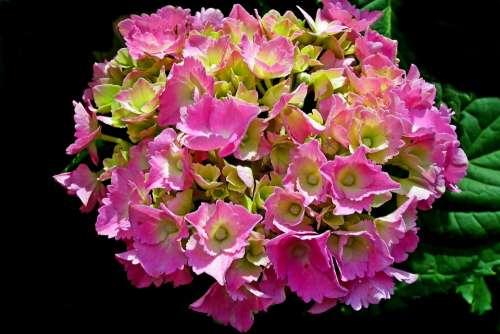 Hydrangea Flower Pink Summer Blossoming Closeup