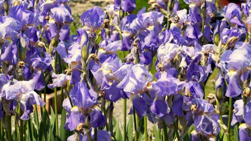 Iris Blue Blossom Bloom Flower Nature Iridaceae
