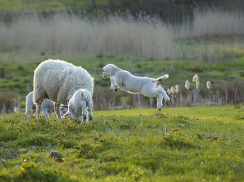 Joy Sheep Jump Cheerful Spring Emotion Light