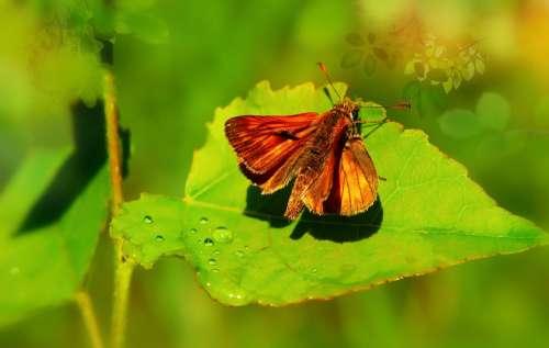 Karłątek Kniejnik Butterfly Day Rosa Antennae