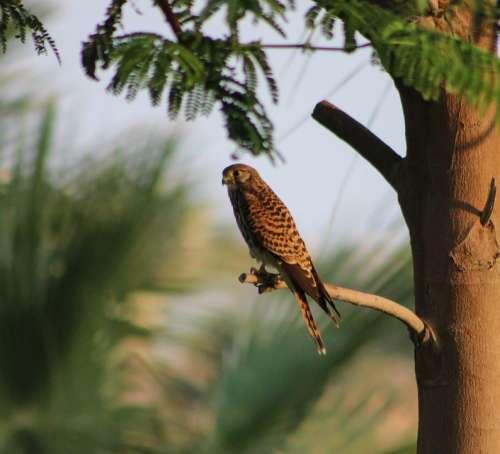 Kestrel Hunting Raptor Nature Bird Predator