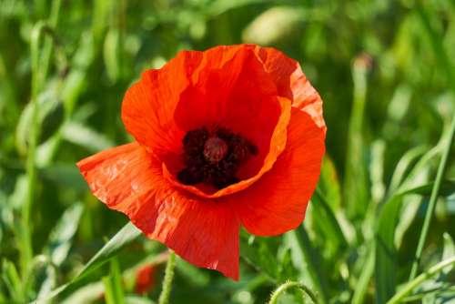 Klatschmohn Plant Flower Red Poppy Blossom Bloom