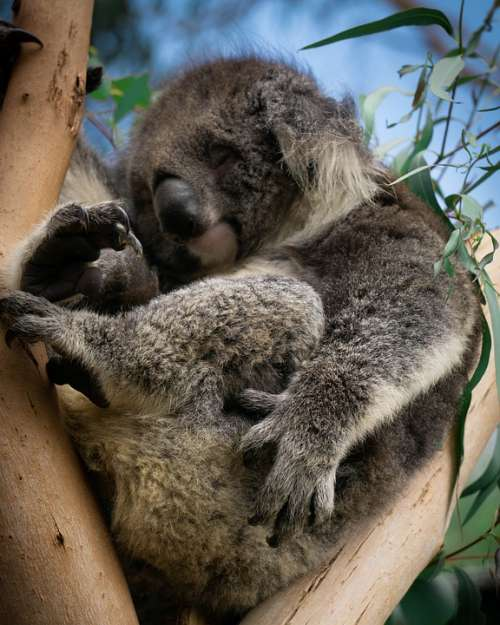 Koala Australia Eucalyptus Cute Animal Nature