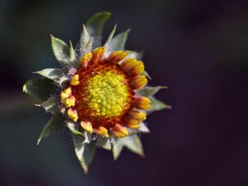 Kodadenblume Flower Plant Expressive Yellow Orange