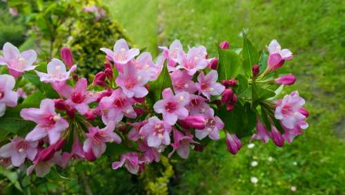 Krzewuszka Bush Flowers Nature Spring Flowering
