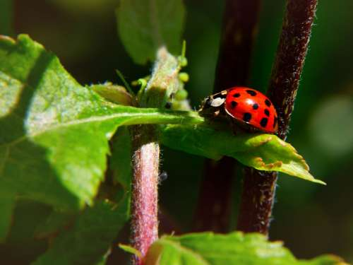 Ladybug Leaf Nature Insect Beetle Red Points