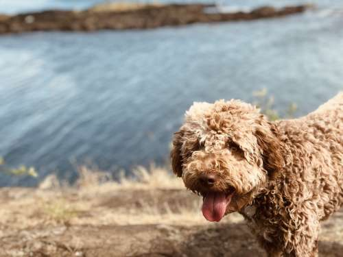Lagotto Romagnolo Dog Puppy Outside Fetch Pet